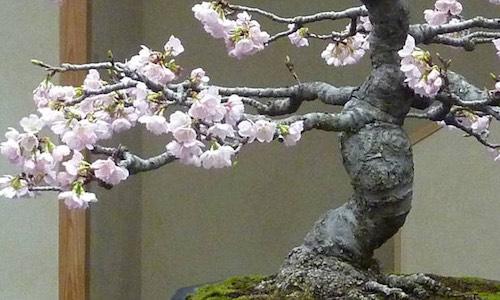 벚꽃 분재